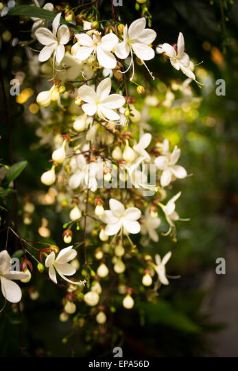Clerodendron Stock Photos Clerodendron Stock Images Alamy