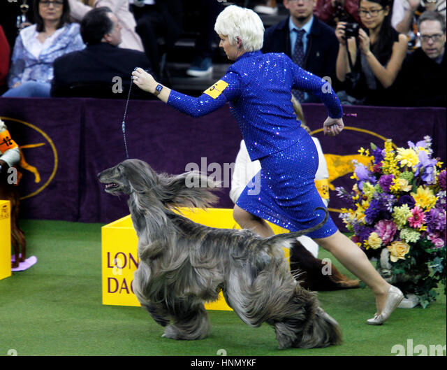 New York, United States. 13th Feb, 2017. GCH CH Agha Djari's Fifth Dimension Of Sura, an Afghan Hound, during - Stock Image