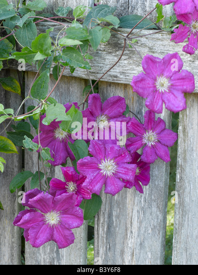 Purple clematis growing on weathered fence - Stock Image