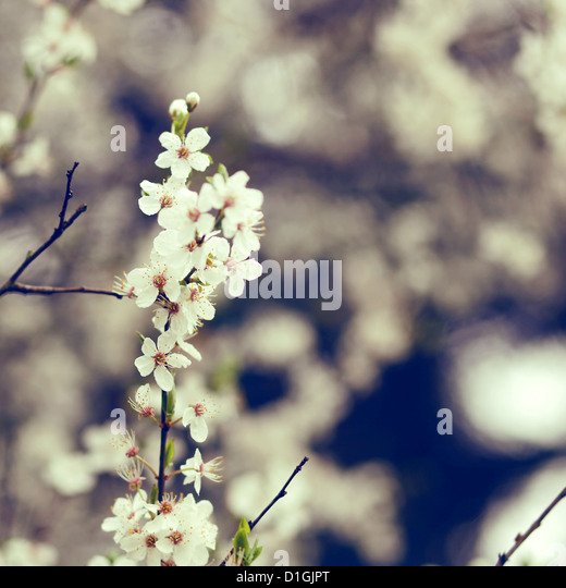 A close up of white cherry blossom in bloom in the spring - Stock Image