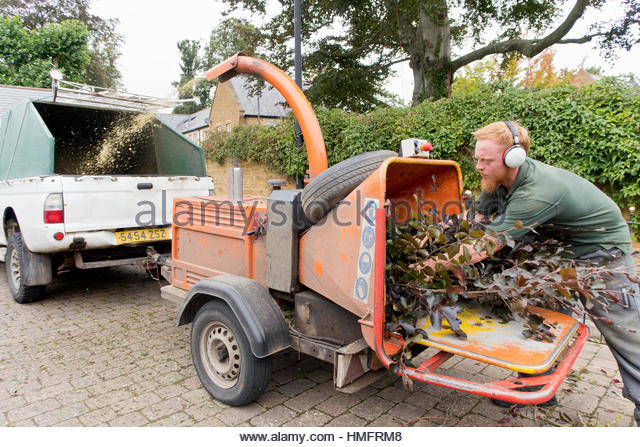 Arborist chipping copper beech tree branches through wood chipper - Stock-Bilder