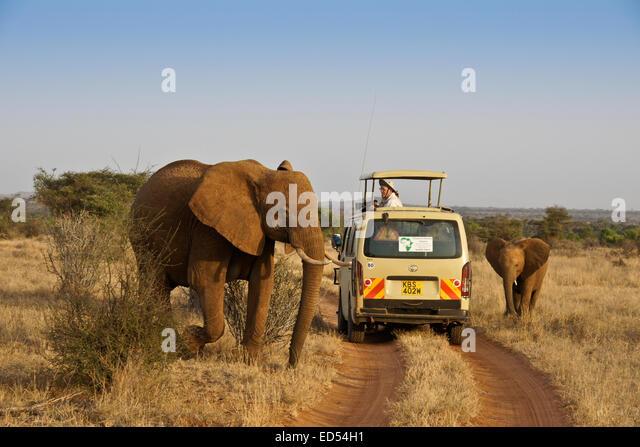 Elephants walking by safari vehicle, Samburu, Kenya - Stock Image