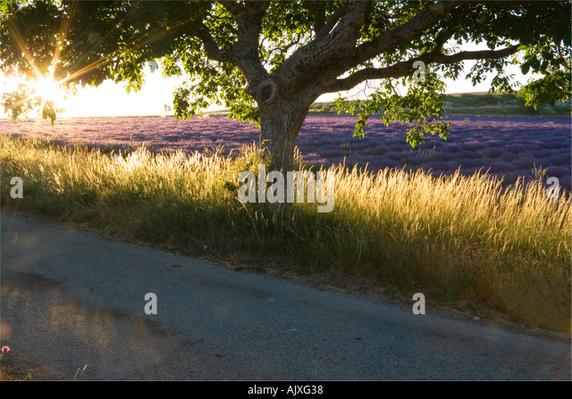 Sunset through tree and Lavender field Provence France - Stock Image