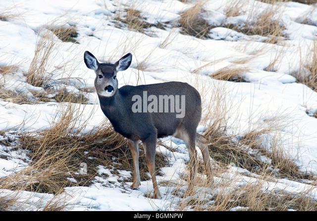 A young mule deer - Stock-Bilder