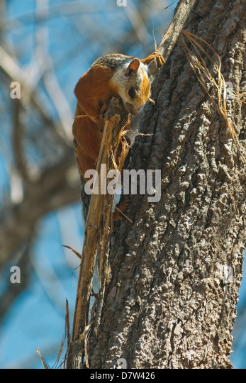 Variegated Squirrel gathering nest material in tree, Nosara, Nicoya Peninsula, Guanacaste Province, Costa Rica - Stock Image