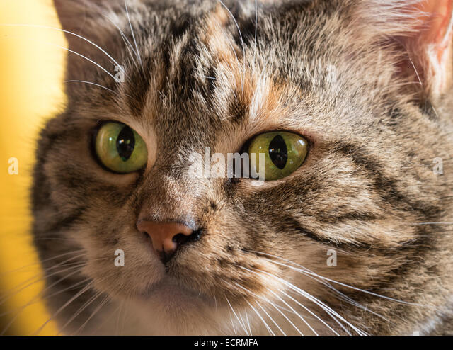 Tabby cat face - Stock Image