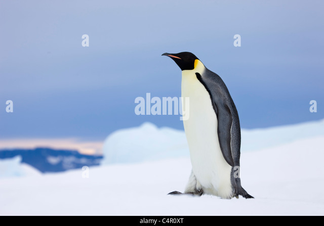 Emperor Penguin on Snow Hill Island, Antarctica - Stock Image
