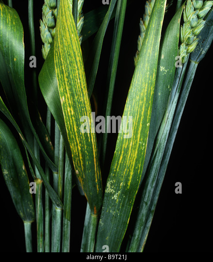 Symptoms of magnesium deficiency on wheat flagleaves - Stock Image