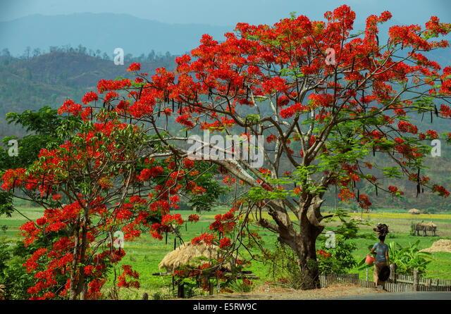 Flame tree, near Kangyi, Magway Division, Myanmar. - Stock-Bilder