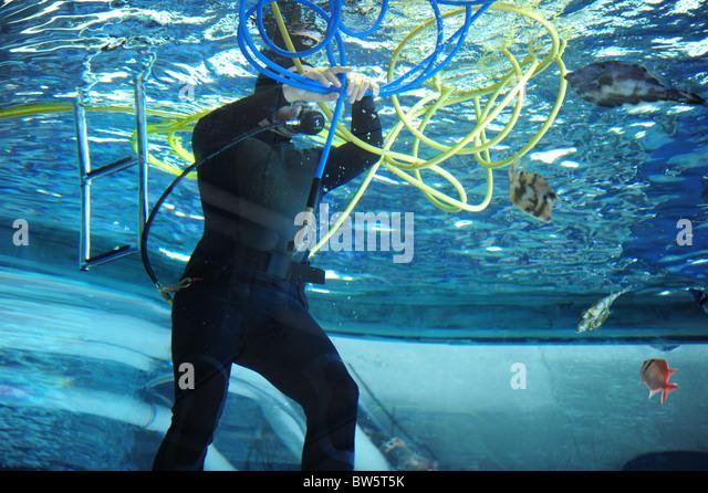 Aquarium diver untangling blue and yellow hoses in ocean tank - Stock Image