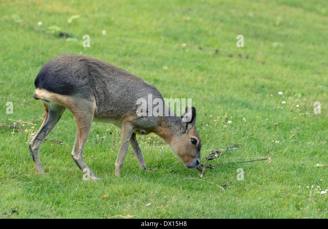 Mara pasturing on a green grass lawn - Stock Image