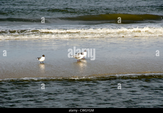 Three American Oyster Catchers (Haematopus palliatus) near the surfline on deserted beach at Corolla, North Carolina - Stock Image