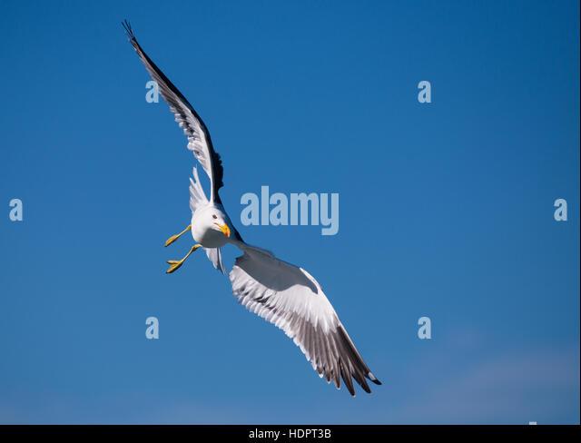 A Kelp Gull in flight - Stock Image