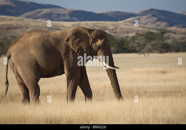 Desert Elephant (Loxodonta africana), Aba-Huab River Valley, Damaraland, Namibia, Africa - Stock Image