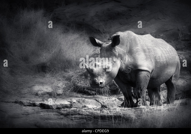 White Rhinoceros (Artistic processing) - Stock Image