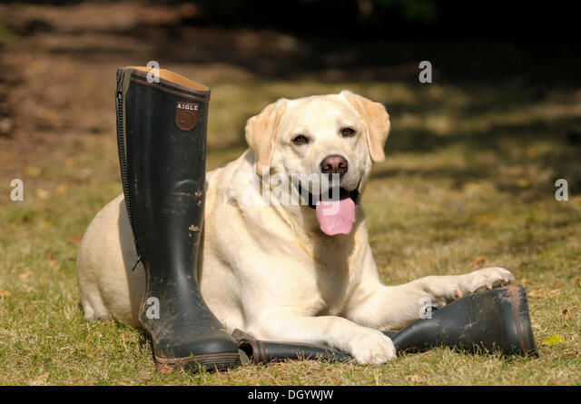 Blonde Labrador-Retriever lying on rubber boots - Stock Image