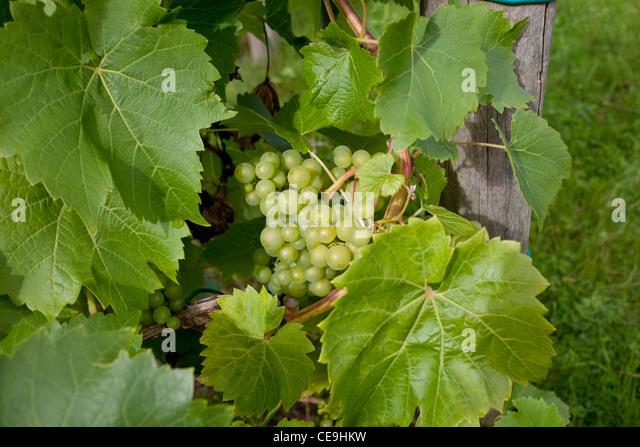 Bodenham grapes at Broadfiled Court Herefordshire in close up - horizontal crop - Stock Image