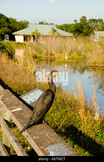 Double crested cormorant Everglades National Park Florida florida nature birding wildlife - Stock Image