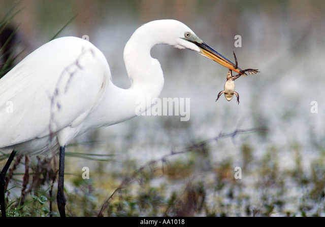 A Great Egret ardea alba prepares to eat a frog it caught in a central Florida pond Feb 2003 COPYRIGHT DUANE BURLESON - Stock Image