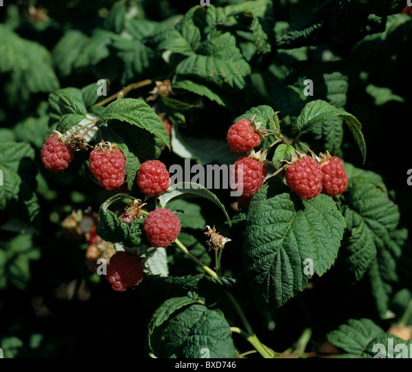Ripe raspberry fruit on the canes, Berkshire - Stock Image