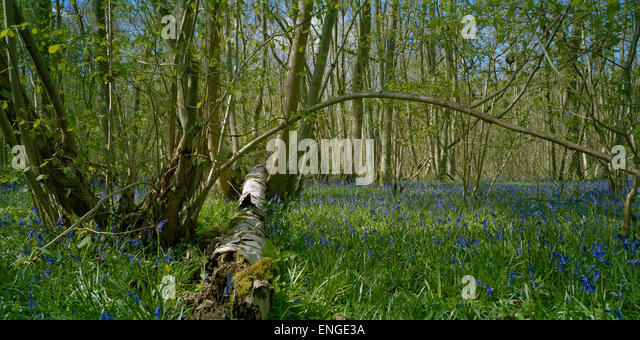 Fallen silver birch tree and English bluebells in Cambridgeshire woodland - Stock Image