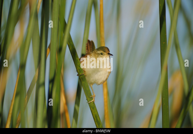 Marsh Wren (Cistothorus palustris), adult in reeds, Fennessey Ranch, Refugio, Corpus Christi, Coastal Bend, Texas - Stock Image