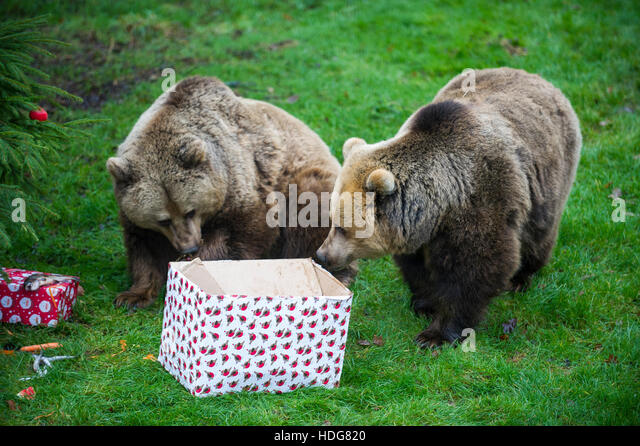 Dunstable, Bedfordshire, UK. 12th Dec, 2016.  We wish you a bear-y Christmas, Wellington and Wimslow Whipsnade Zoo's - Stock Image