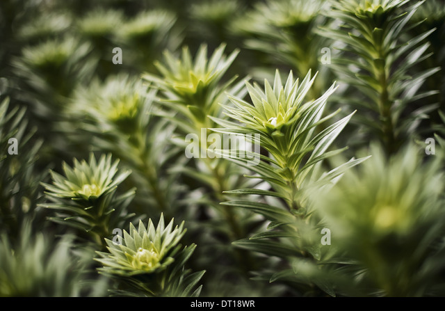 Woodstock New York USA Organic plants grow in greenhouse Florets growth - Stock Image