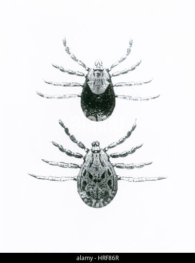 Rocky Mountain Spotted Fever Ticks - Stock Image