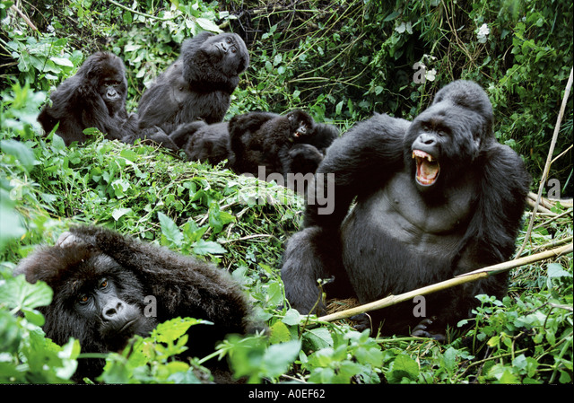 Family group of mountain gorillas Mgahinga National Park Uganda - Stock Image