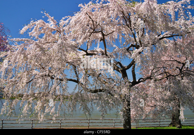Blooming Japanese cherry blossoms on the east bank of the Potomac River, Washington, DC. - Stock Image