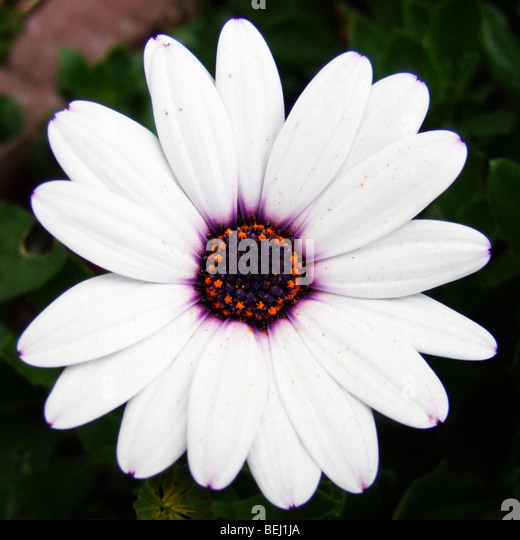 White daisy - Stock-Bilder