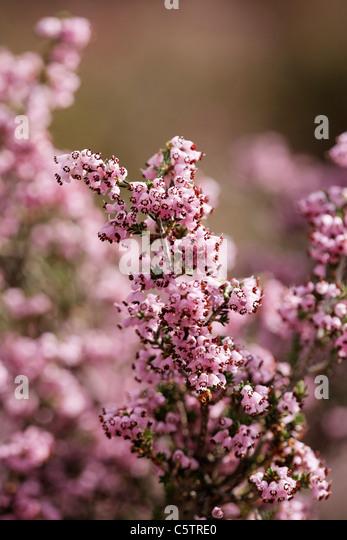 Greece, Crete, Close up of purple bell heather - Stock Image