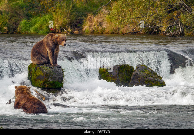 A young male brown bear sits on one of the rocks by Brooks Falls as he prepares to return to his fishing spot - Stock Image