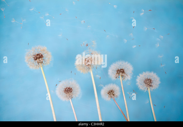 group of dandelions in the wind - Stock Image