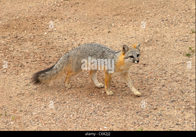 Adult Gray Fox or Grey Fox (Urocyon cinereoargenteus) Pike National Forest, Colorado US. - Stock Image