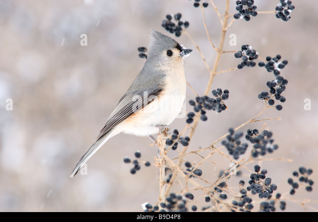 Tufted Titmouse in Privet and Winter Snow - Stock Image