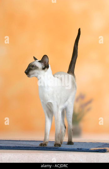 Siamese Cat - Stock Image