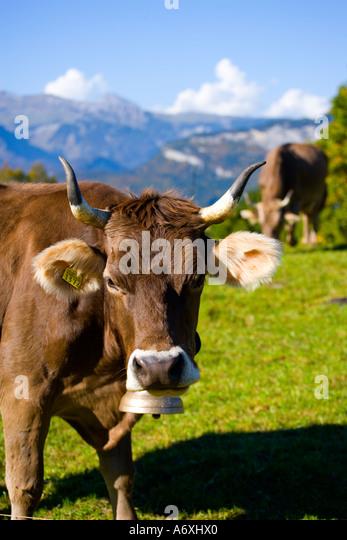 Switzerland Berner Oberland Alpine cow - Stock Image
