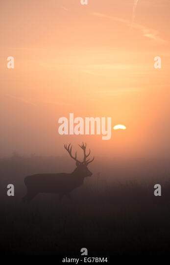 Red deer stag walks as the sun rises behind. Richmond Park, London - Stock Image