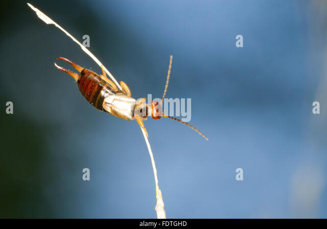 Common Earwig (Forficula auricularia) adult female on a grass stalk. Powys, Wales. September. - Stock Image