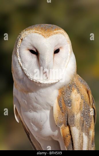 Barn Owl (Tyto alba) at the Sonoran Desert Museum, Tucson, Arizona, USA - Stock Image