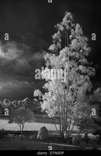 Eucalyptus tree and polo grounds, la Sabana near Bogota, Colombia. - Stock Image