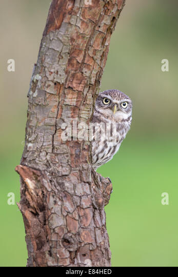 Little Owl (Athene noctua) peering around a tree trunk - Stock Image