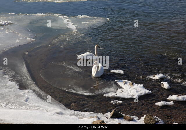 Couple of swans in an open section on the River Danube at Deggendorf in winter with ice ,  Bavaria Germany, Europe. - Stock Image