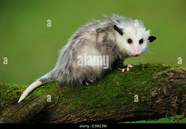 An 8 month old young opossum at Howell Nature Center, Michigan, United States - Stock-Bilder
