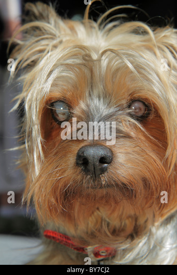 Georgia Flowery Branch dog animal pet blind cataracts 16 years old life span Yorkshire terrier Yorkie small breed - Stock Image