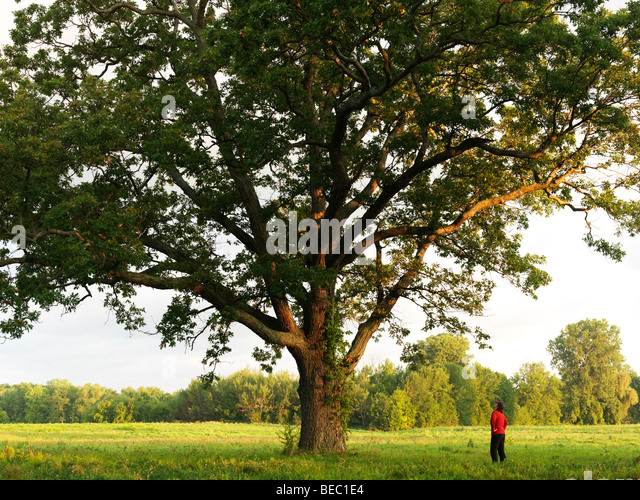 Canada Ontario Niagara-on-the-Lake,young woman looking up at a 200 year old Oak tree - Stock Image