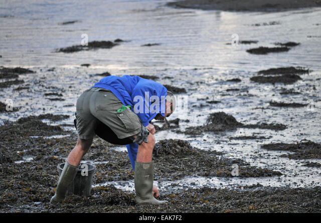 A man collects bait from the foreshore - Stock Image