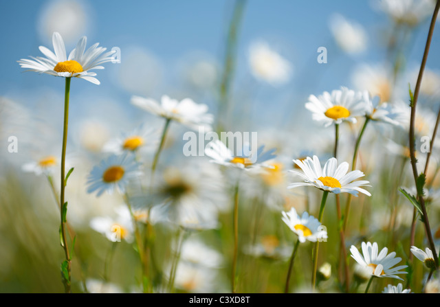 Close-up view of daisies in field in full bloom - Stock Image